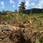 St Lucia - Tomas - Banana (2010 11)