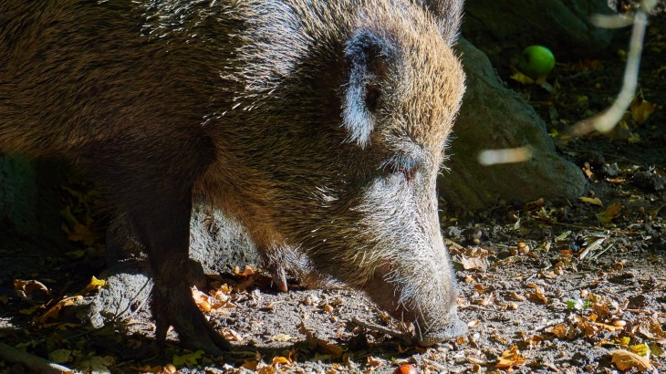 boar-1033870_1920